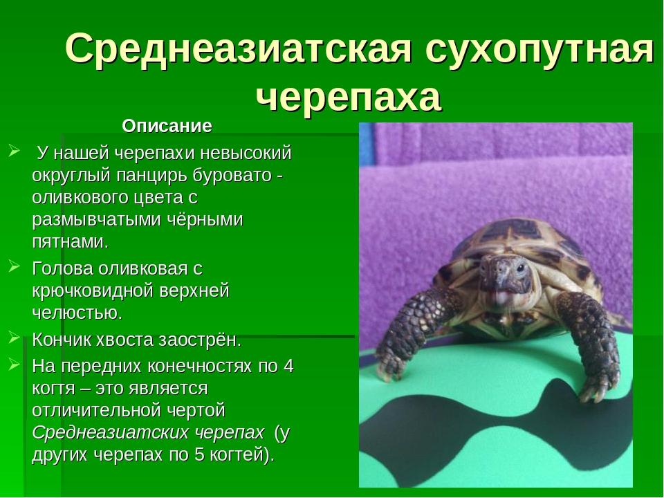 Про сухопутную черепаху в домашних условиях 47