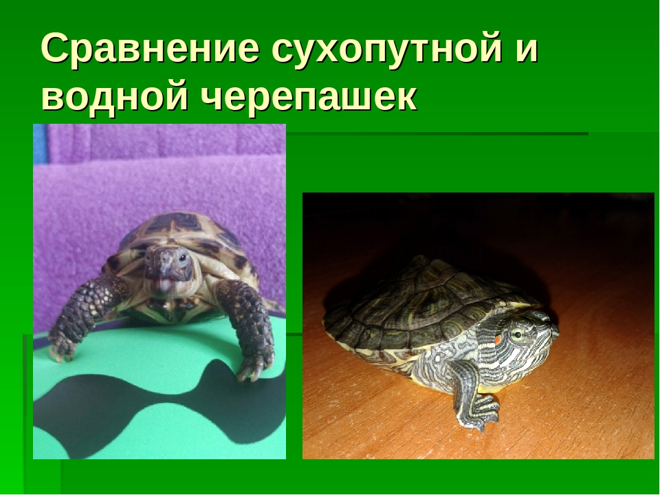 Речная черепаха в домашних условиях 502